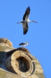 Varias cigüeñas en los nidos y por encima de la Catedral de Lleida