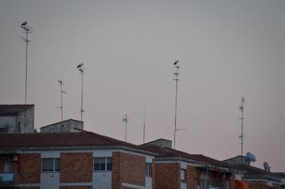 Tres cigüeñas posadas en las antenas de los edificios en la plaza Blas Infante, de Lleida
