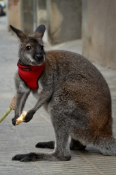 Roger, el primer canguro doméstico de España. Cecília López.