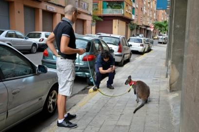 Los vecinos de Lleida reaccionan bien ante el canguro y quieren sacarle fotografías. Cecília López