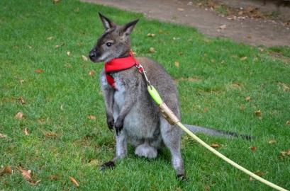 Roger, no crecerá más porque es un wallaby. Cecília López.