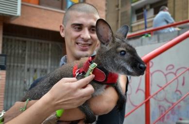 Jordi Segura dedica muchas horas al día a los cuidados de su canguro Roger. Cecília López.