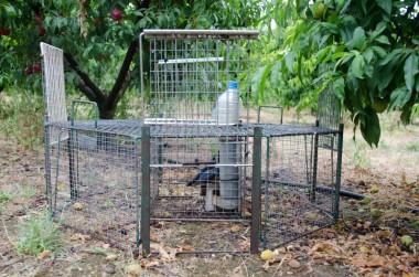 Jaula ubicada en un campo de frutales para ahuyentar a las urracas. Cecília López