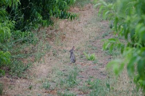 Conejo en un campo de melecotones en les Garrigues. Cecília López