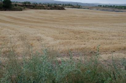 Campo de cereal recién segado en les Garrigues en el que se puede apreciar el efecto del conejo en los márgenes de la parcela. Cecília López