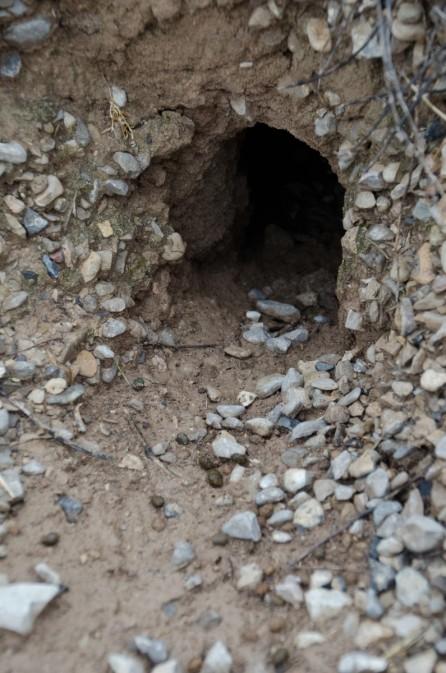 Madriguera de conejo con restos de excrementos en el camino de entrada en una finca en la comarca de les Garrigues. Cecília López