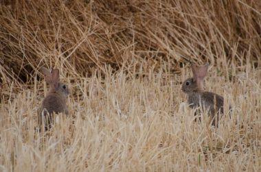 Conejos en un campo recién sembrado en la comarca de les Garrigues. Cecília López
